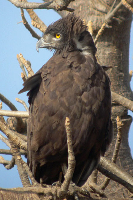 Brown_Snake_Eagle_Senegal