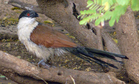 Senegal_Coucal