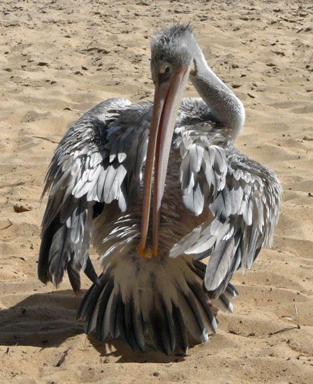 Pink_backed_Pelican_Senegal