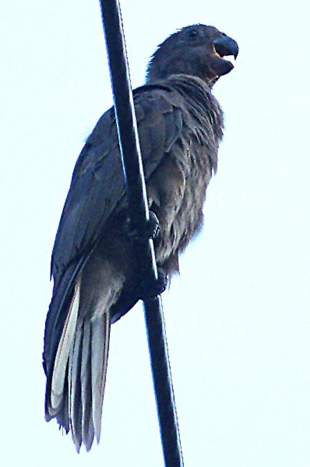 Lesser_Vasa_(Black)_Parrot_Seychelles
