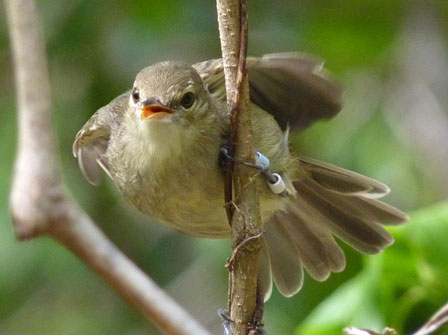 Seychelles_Warbler