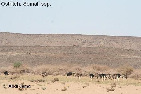 Somali_Ostrich_Somalia