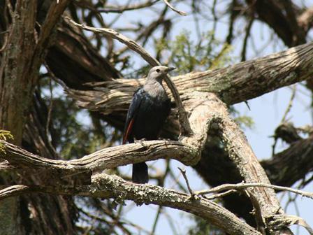 Somali_Chestnut_winged_Starling