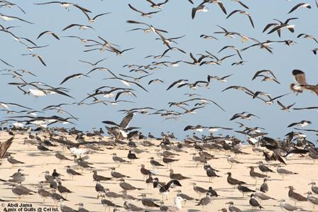 Gulls_Somalia