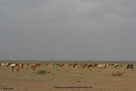 Somalia_Overgrazing