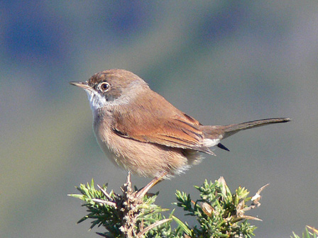 Spectacled_Warbler_Madeira