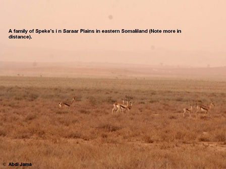Spekes_Gazelle_Somalia