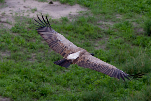 Tanzania_White_backed_Vulture