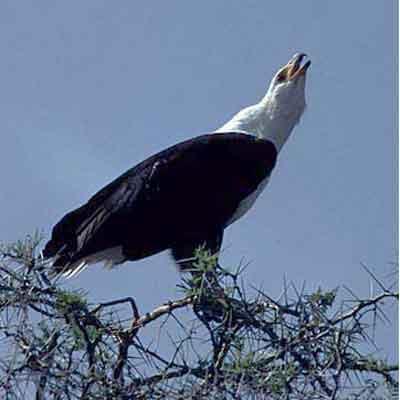 African_Fish_Eagle_Uganda
