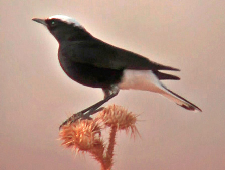 White_crowned_Black_Wheatear