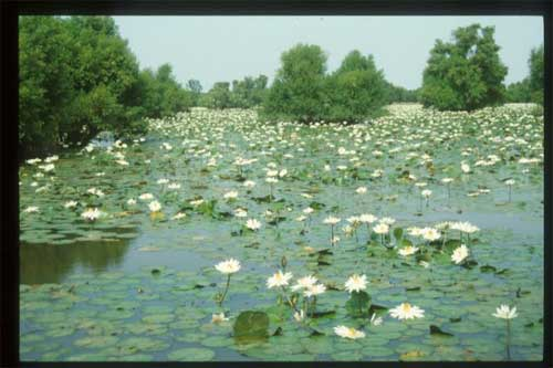 Waterlilies_and_Mytragyna_Niger