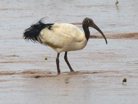 Malagasy Sacred Ibis
