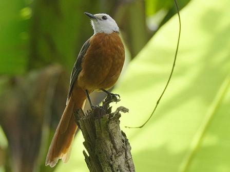 White-headed Robin Chat