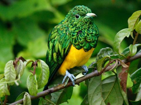African_Emerald_Cuckoo