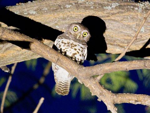 African_Barred_Owlet