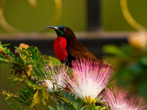 Scarlet_chested_Sunbird