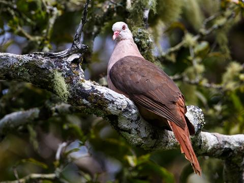 Pink_Pigeon