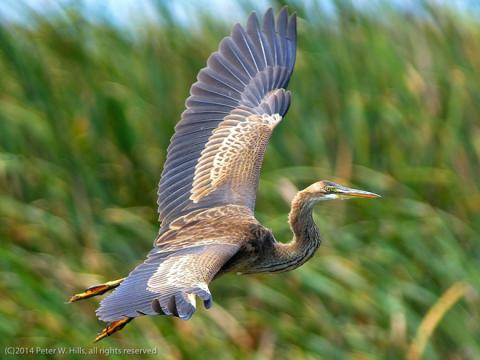 Purple_Heron