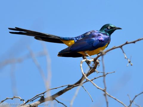 Golden_breasted_Starling