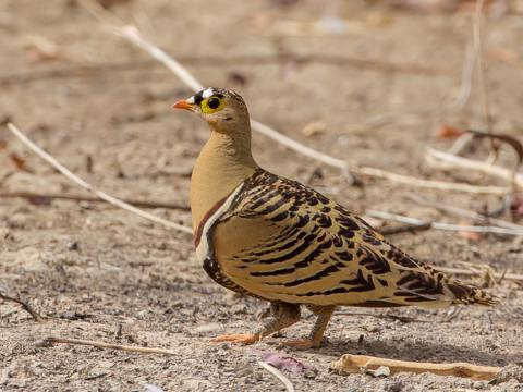 Four_banded_Sandgrouse