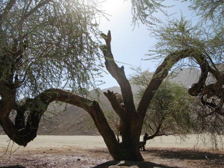 Tree_Fezzan_desert_Sudan_border_Libya